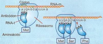 Atuação do RNA transportador