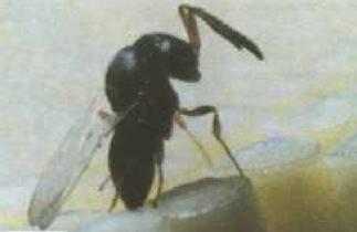 Controle biológico por meio das vespas