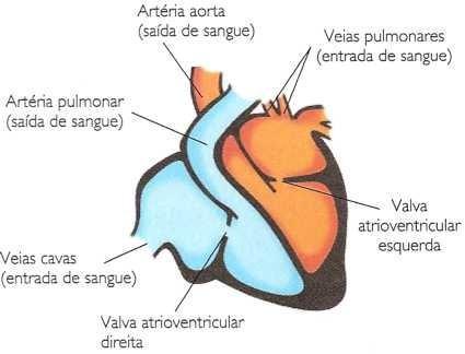 Estruturas do coração