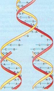 Esquema da duplicação do DNA