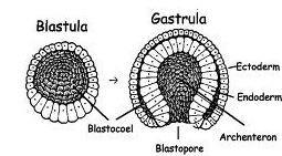 Imagem da blastula e da gastrula.