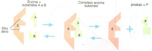 Atuação de uma enzima
