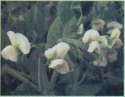 Flores de ervilha