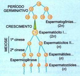 Processo da espermatogênese