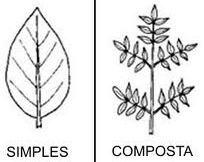 Folha simples e composta