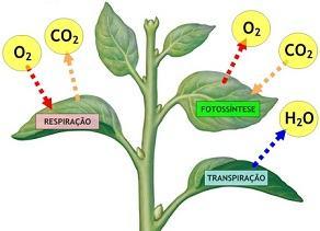 Processo de respiração, fotossíntese e transpiração das folhas