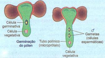 Tubo polínico da gimnosperma
