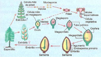 Ciclo reprodutor da gimnosperma