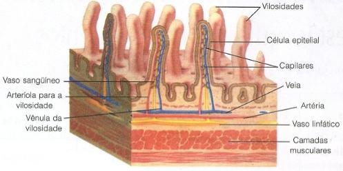 Absorção do alimento pelo intestino delgado