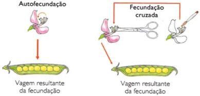 Primeiro experimento de Mendel: Fecundação cruzada
