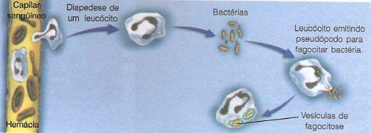 Leucócitos - fagocitose