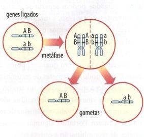 Como funciona a ligação gênica