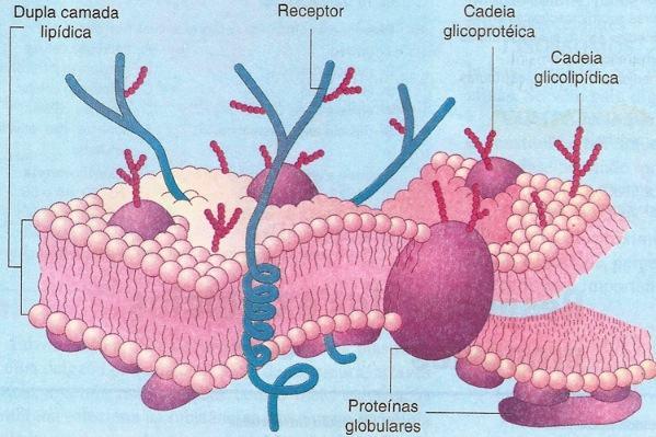 Membrana plasmática - modelo do mosaico fluido