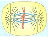 Processo da metáfase
