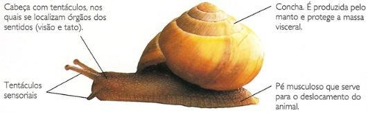 Características de um molusco