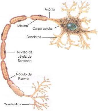 O neurônio e as células de glia.