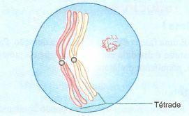 Paquíteno na meiose