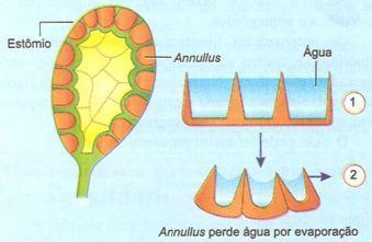 Abertura do esporângio em uma pteridófita