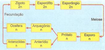 Ciclo de uma pteridófita