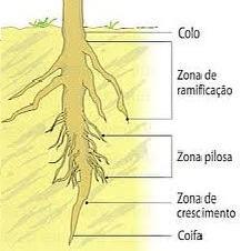 Partes da raiz de uma planta