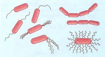 Bactérias bastonetes ou Bacilos