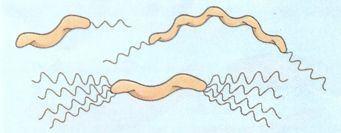 Bactérias espiraladas