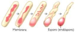 Esporulação: tipo de reprodução assexuada.