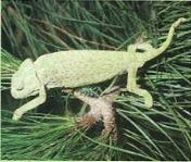 O camaleão é um lagarto que pertence à ordem dos lacertílios