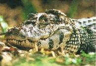 O jacaré é um réptil que pertence à ordem dos crocodilianos