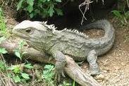 A tatuara é o único réptil que pertence à ordem rincocephalia