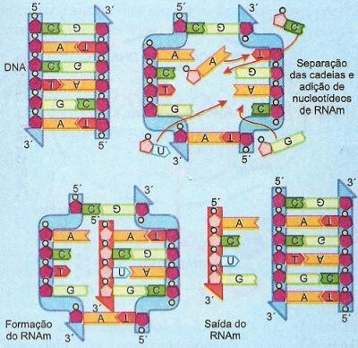 O processo de transcrissão do RNA
