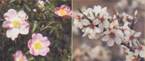 As rosas são eudicotiledôneas