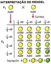 Interpretação da segunda lei de Mendel