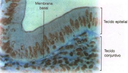 Tecido epitelial do intestino