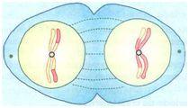 Telófase I da meiose