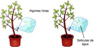 Demontração da transpiração com um ramo vegetal e um saco plástico
