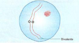 Zigóteno na meiose